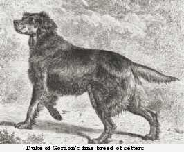 One of the Duke of Gordon's setters
