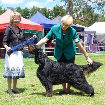 Gordon Setter Triseter Kennels Ice RU Best In Group 2011