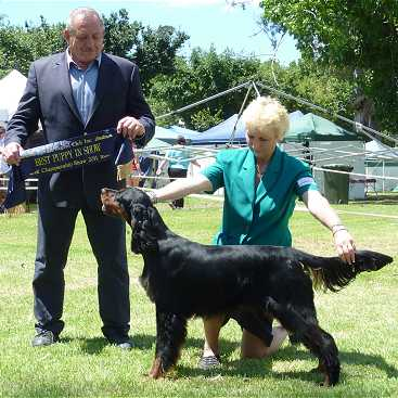 Gordon Setter Triseter Kennels Jaydee Puppy In Show 2011